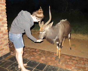 feeding male nyala